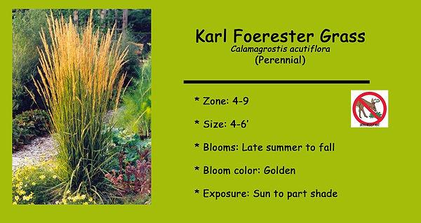 Calamagrostis Karl Foerester .jpg