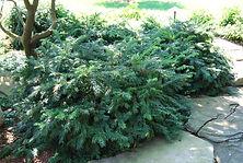 Taxus baccata 'Repandens', Repandens Yew