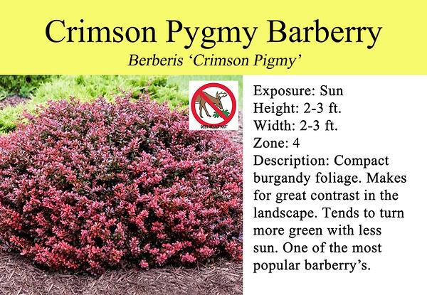 Berberis 'Crimson Pigmy', Crimson Pigmy