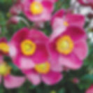 Anemone, Pretty Lady Dianna.jpg