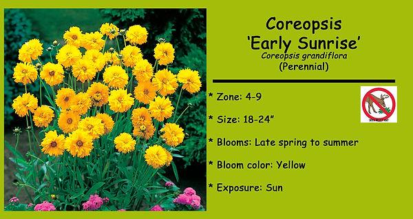 Coreopsis _Early Sunrise_.jpg