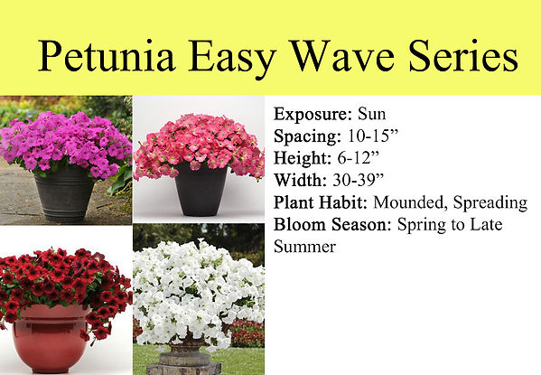Petunia Easy Wave Series.jpg