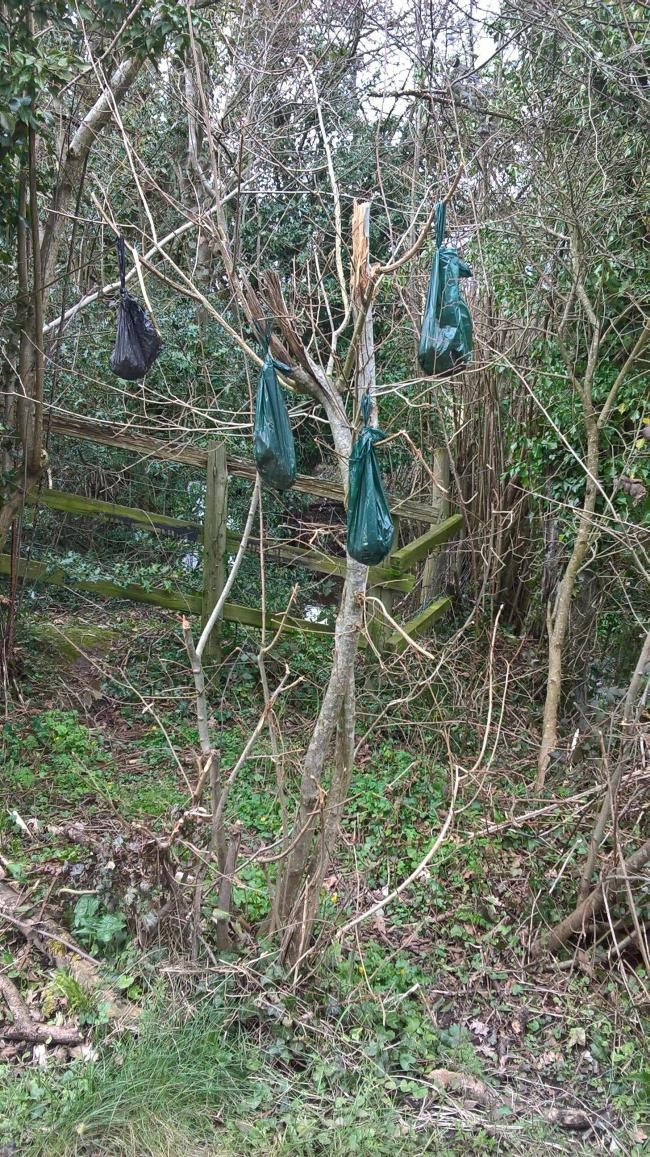 Tree in a popular dog walking with poo bags hanging from it's branches