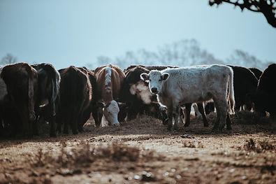 livestock on a farm