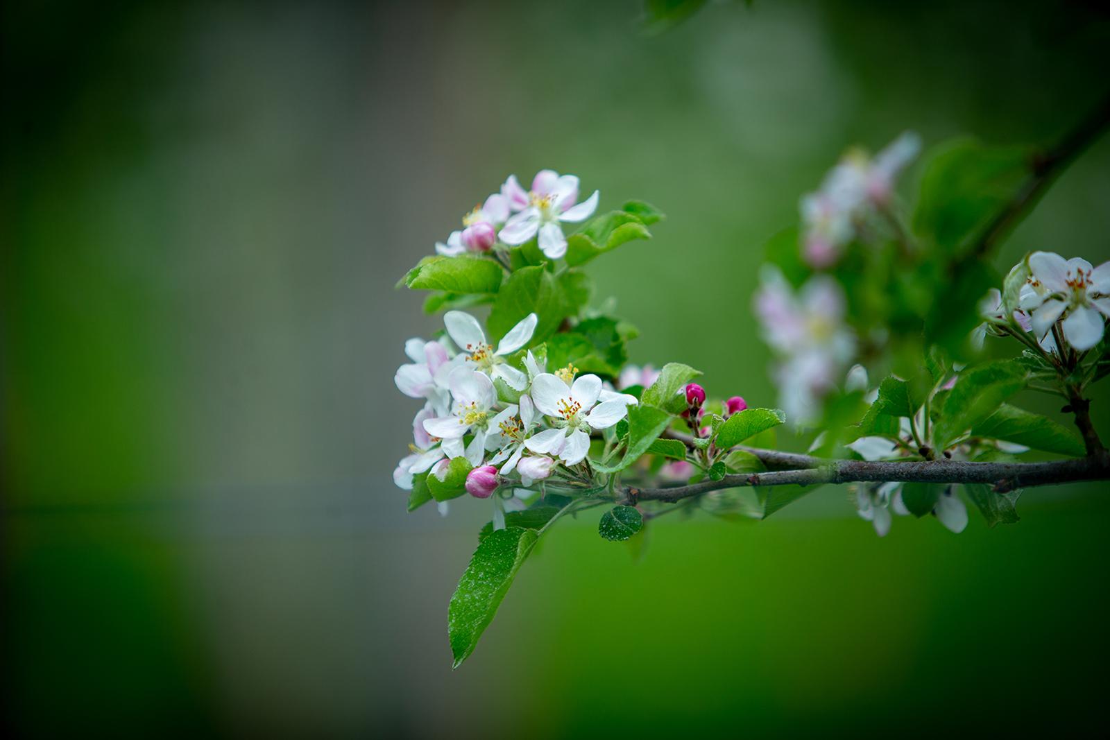 pommier en fleur 1.jpg
