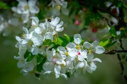 pommier en fleur 4.jpg