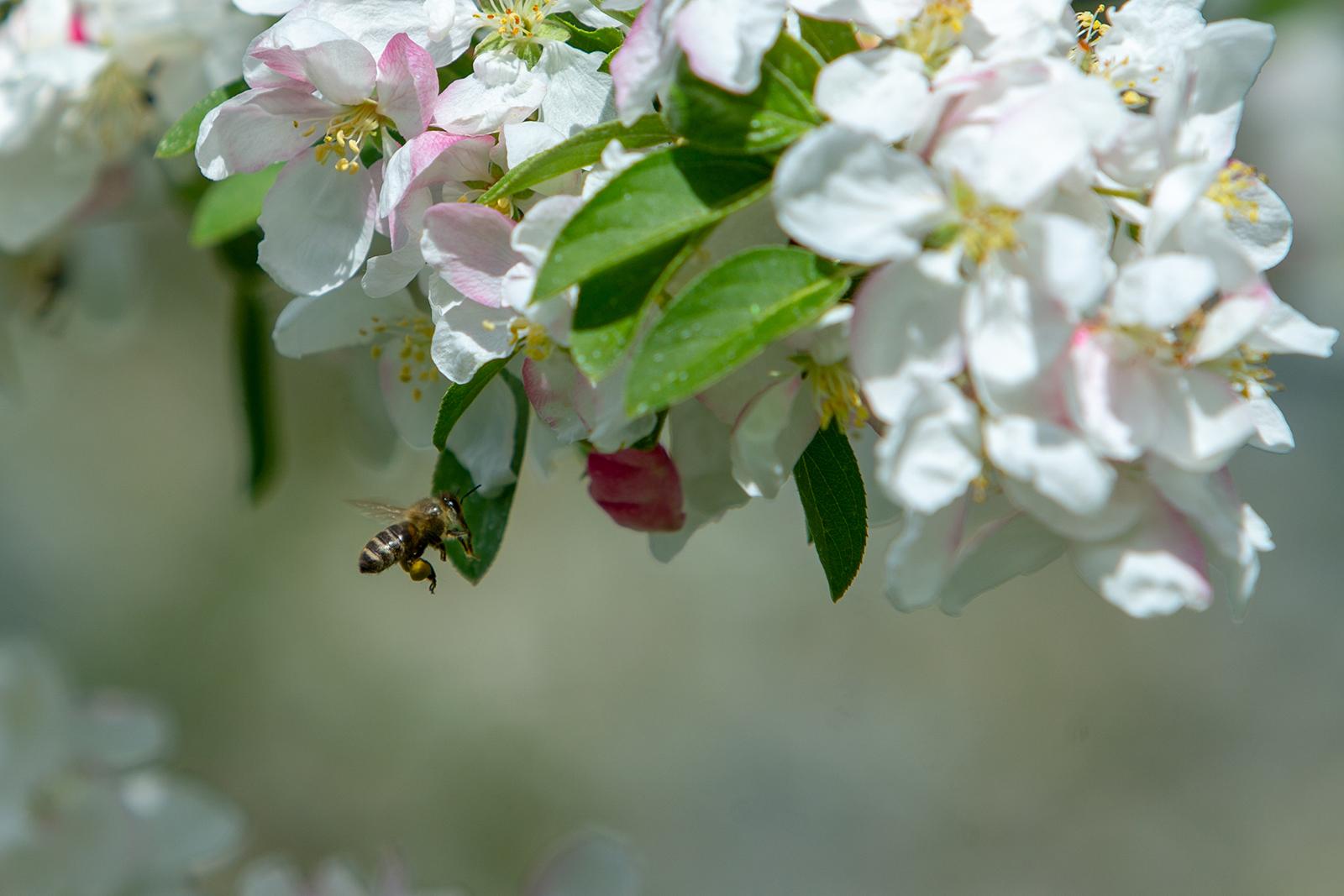 pommier en fleur 3.jpg