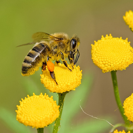 A Punch in the Gut: The Effect of Pesticides and Antibiotics on a Bee's Digestive Tract