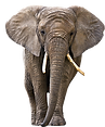 Ivory Elephant Logo SMALL.png