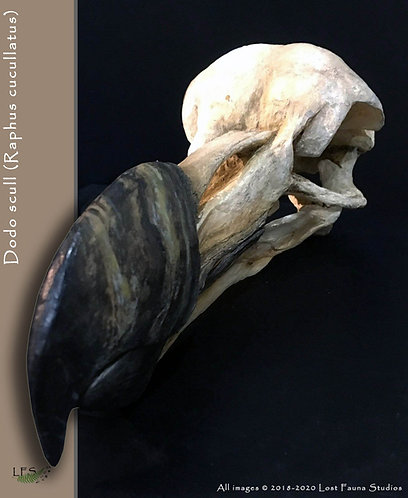 dodo skull.