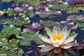 flor loto.jpg