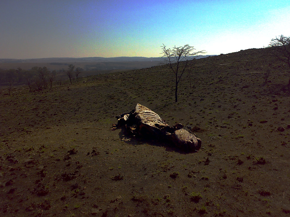 A rhino killed by poachers in South Africa