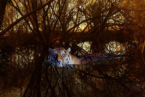 Tigers in lockdown – Size A2 not framed