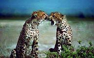 YAN two-cheetahs-african-animals-acinony