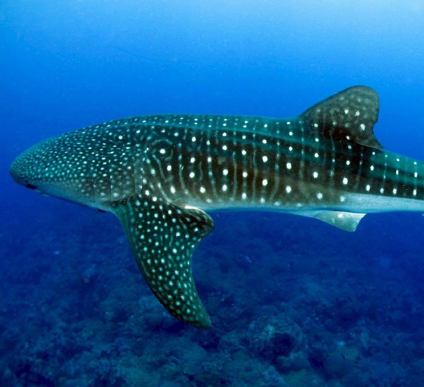 whale-shark-936691_edited