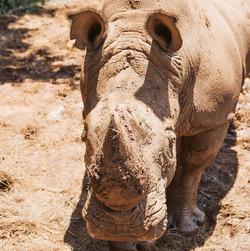 _DSC0488 Rhino 600px