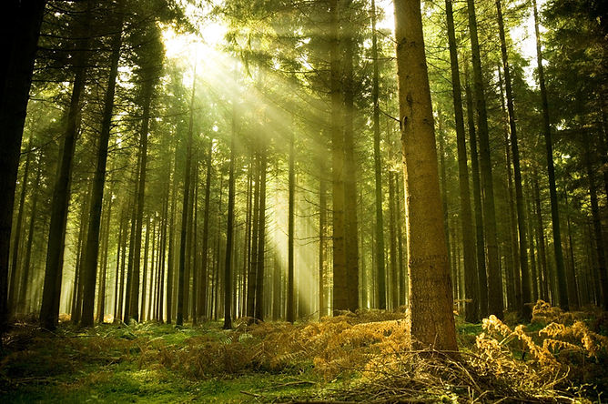 forest-tree-sun-ray-light-spruce.jpg