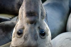 Elephant Seal 12