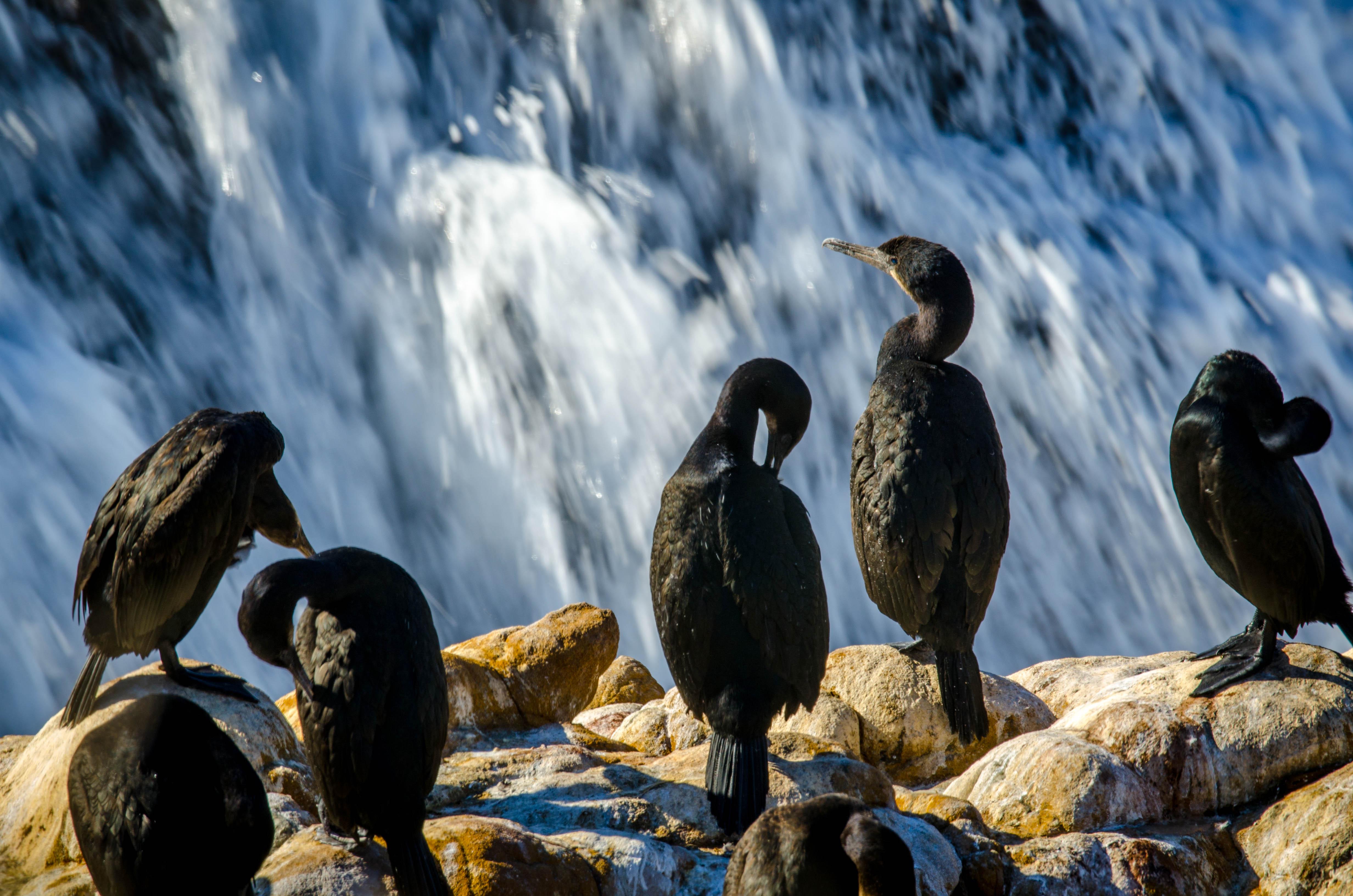 Pelagic Cormorant 1
