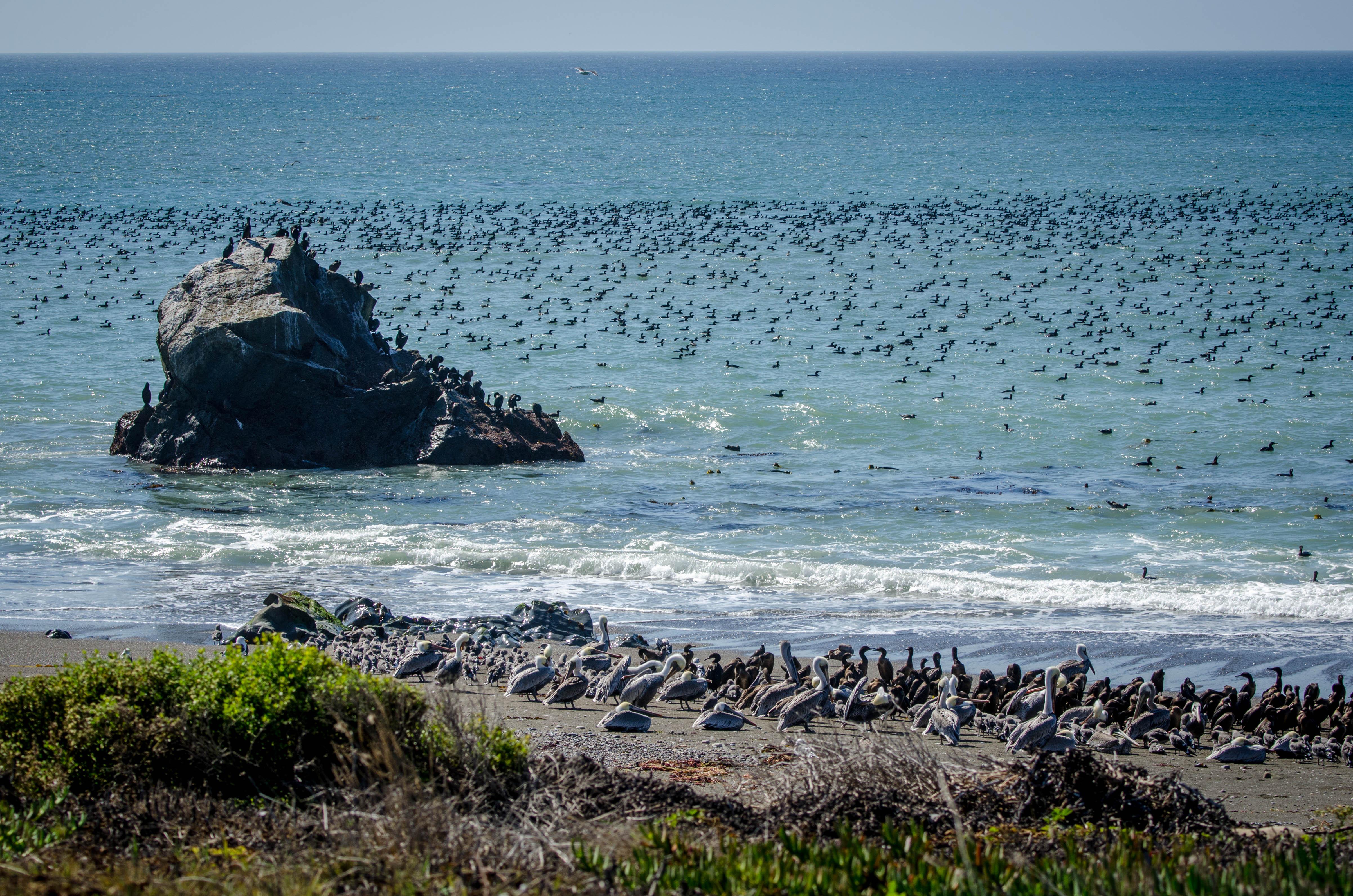 Cormorants + Brown Pelicans 1