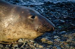 Elephant Seal 19