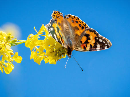 The Painted Ladies Migration