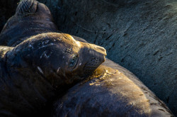 Elephant Seal 23
