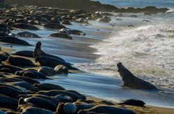 Elephant Seal 24