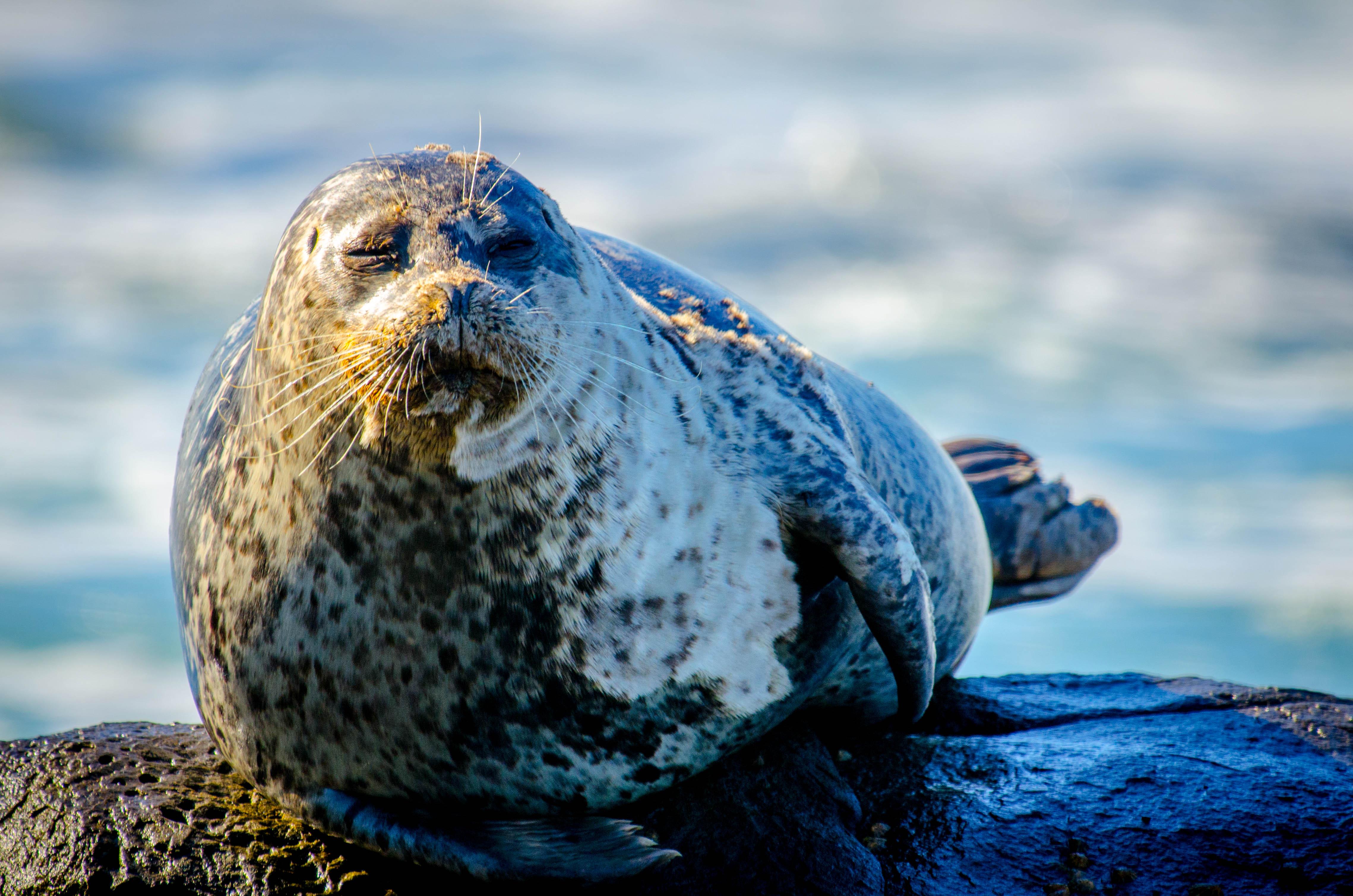 Harbor Seal 7