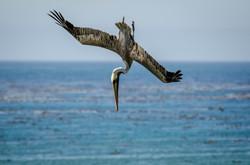 Brown Pelican 18