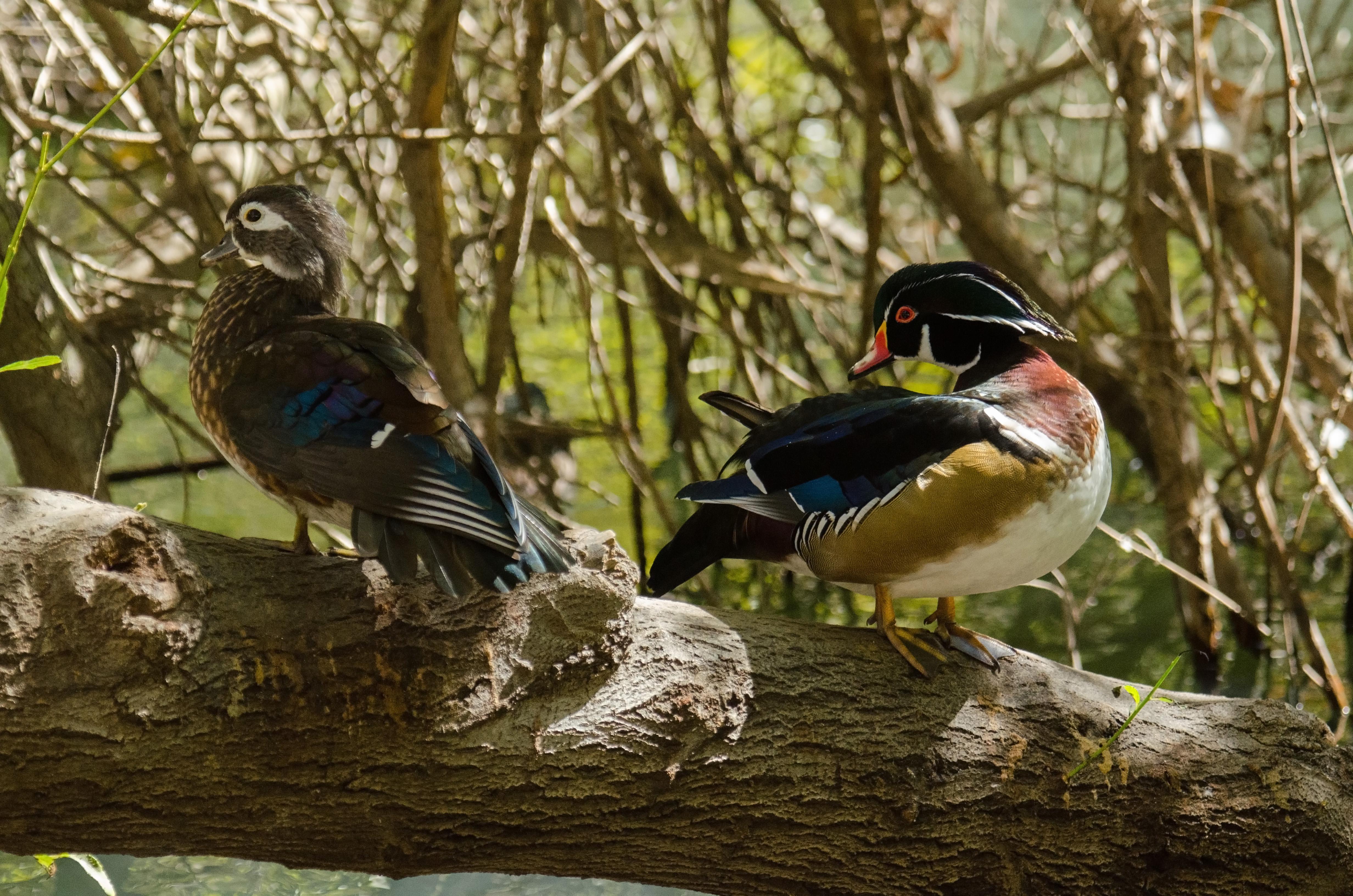 Wood Duck 11