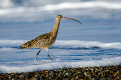 Long-Billed Curlew 3