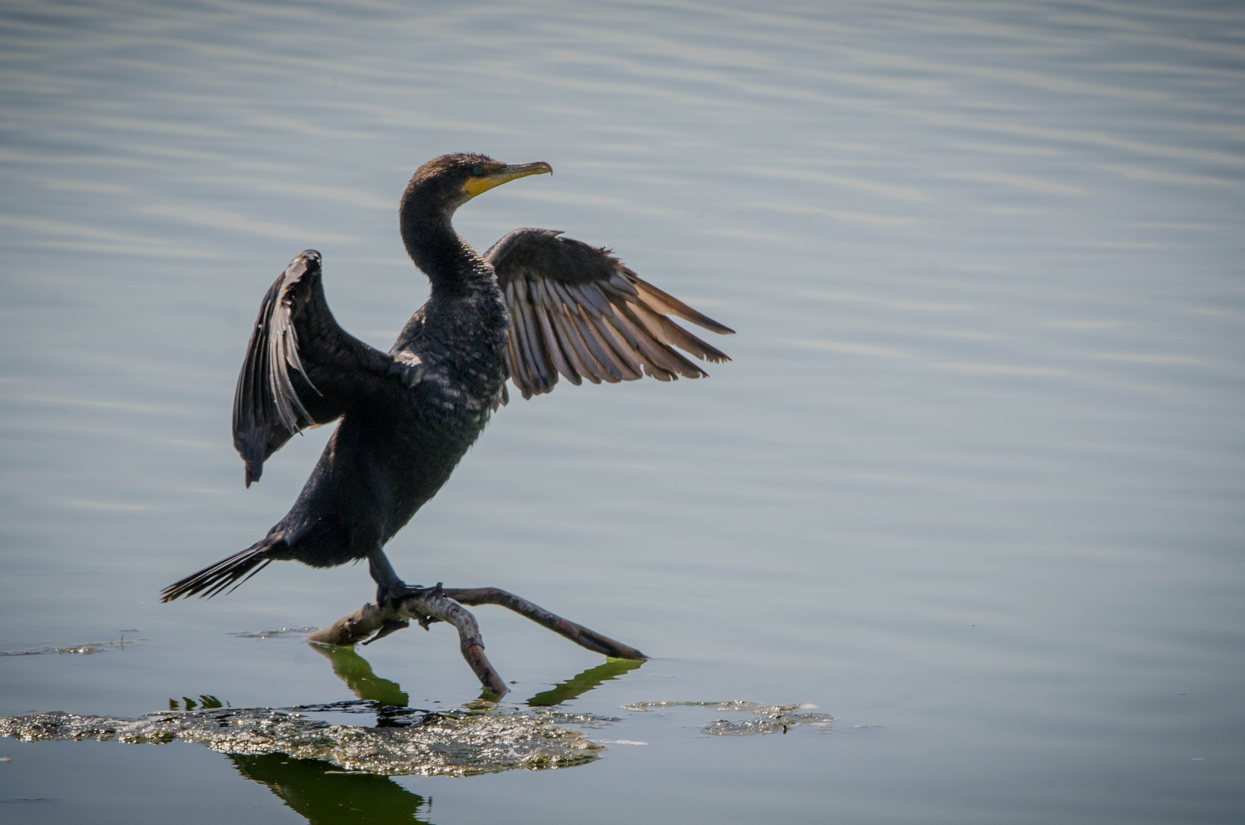 Double-Crested Cormorant 6