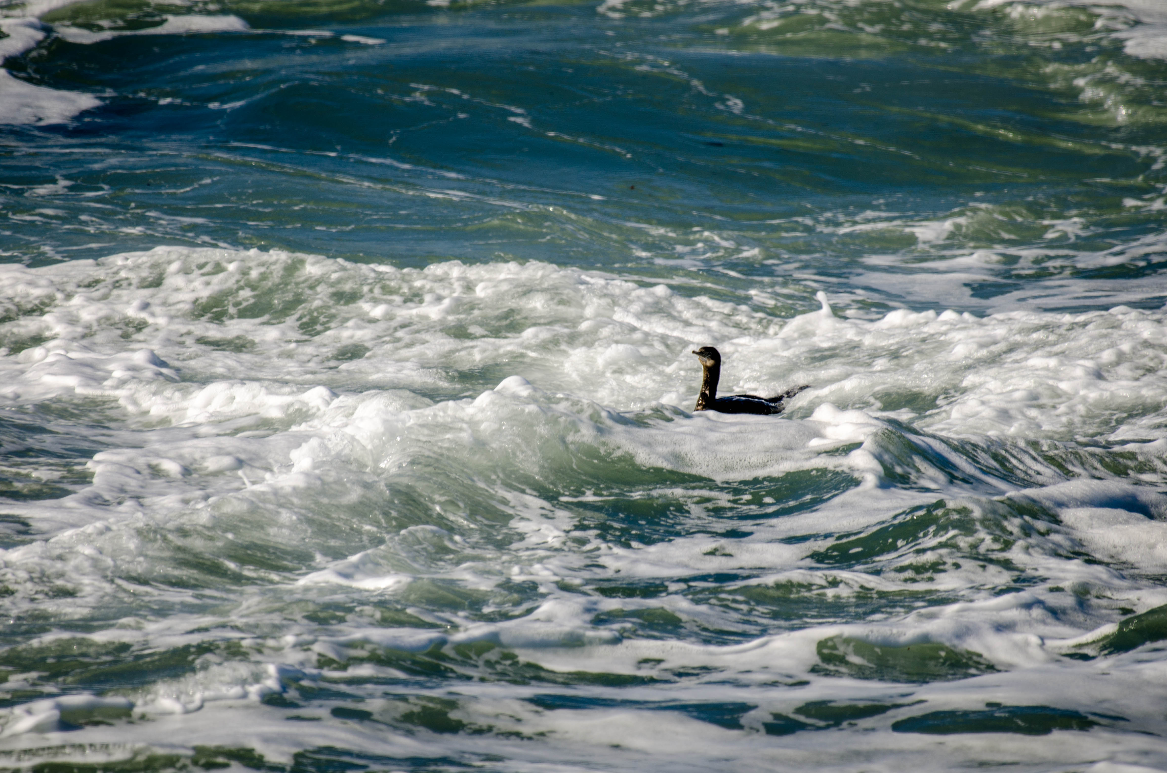 Pelagic Cormorant 7
