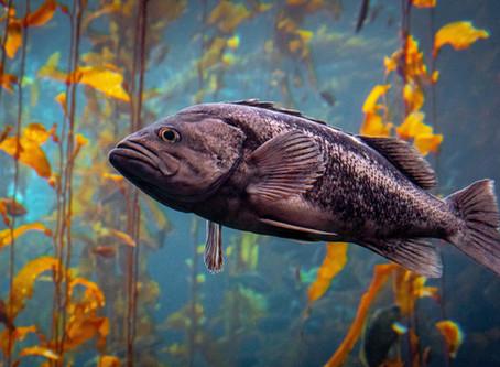Fair Catch: Using Monterey Bay Aquarium's Seafood Watch Program to Ensure a Healthy Ocean