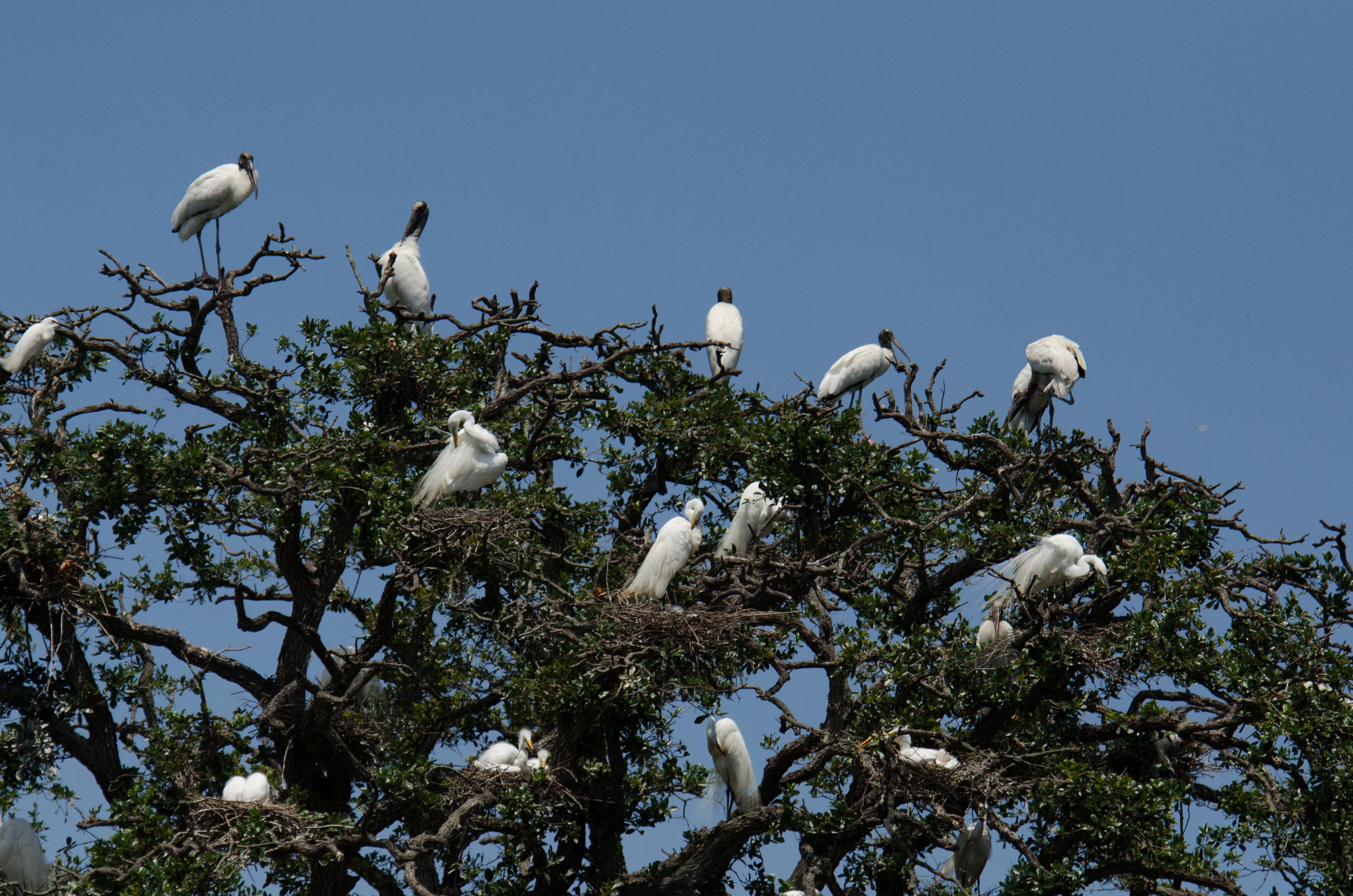 WoodStorks+Egrets