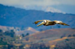 Brown Pelican 11