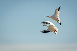 Snow Goose 11