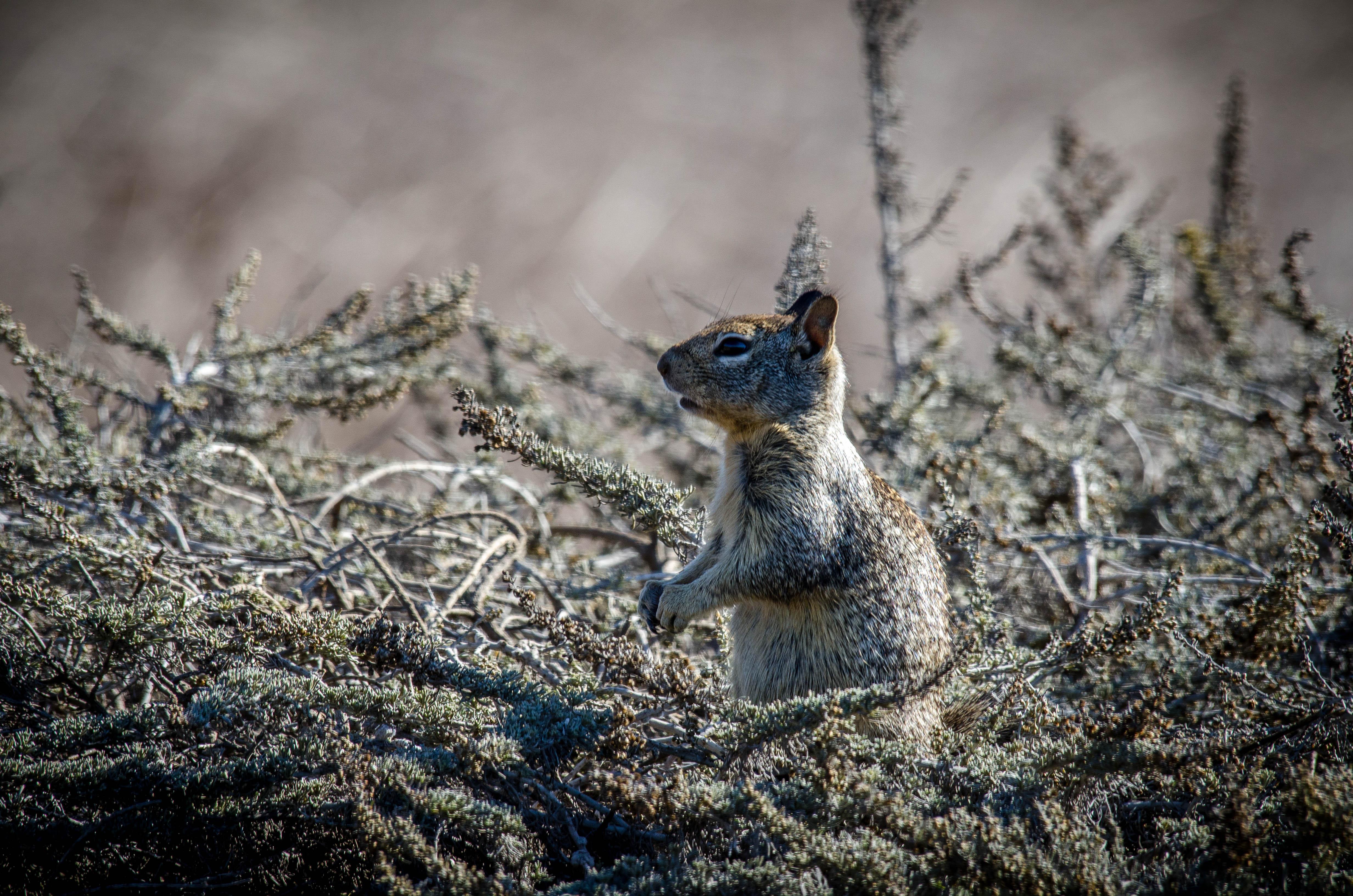 California Ground Squirrel 2