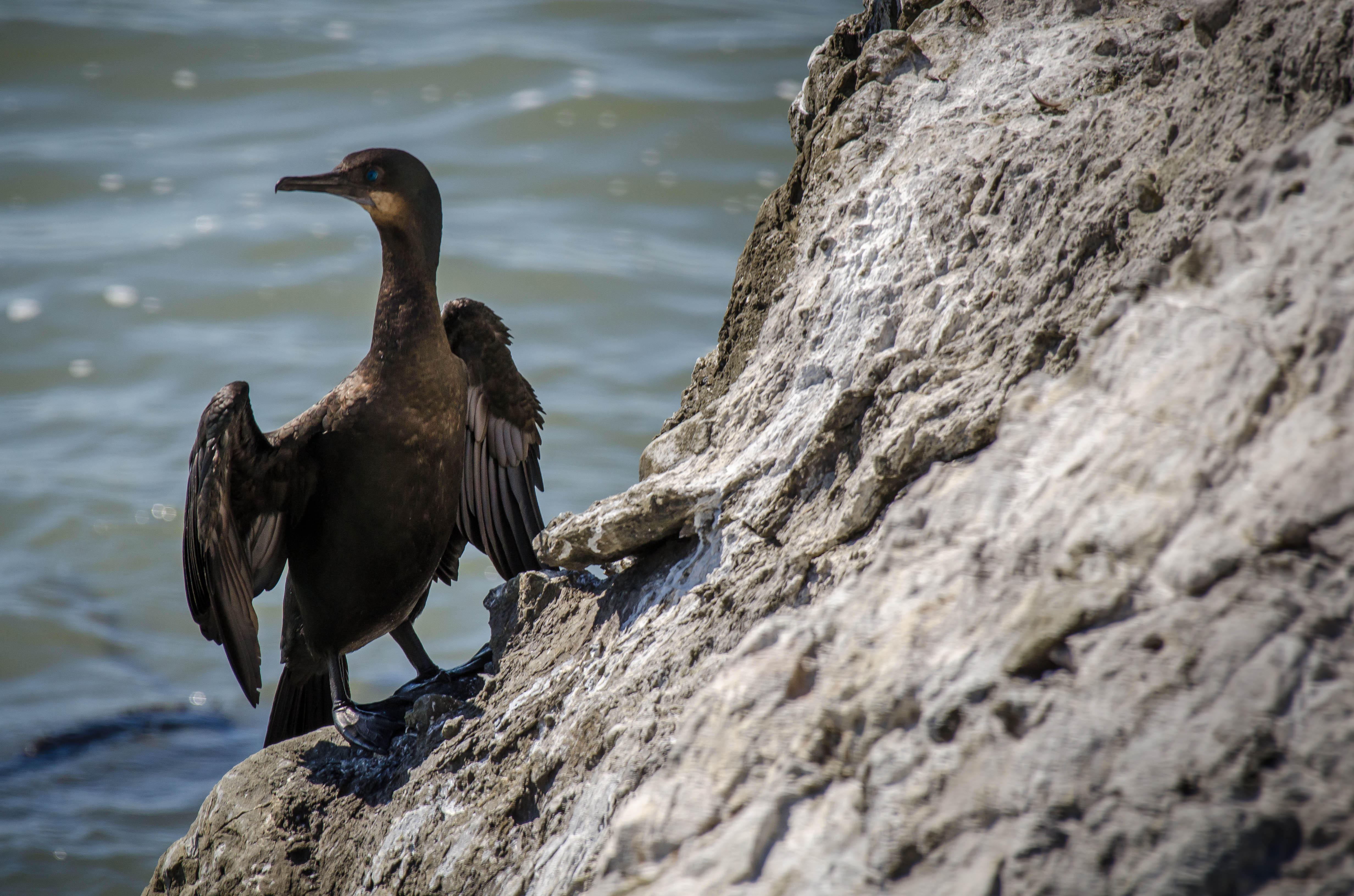 Pelagic Cormorant 4