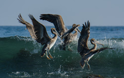 Brown Pelican 23