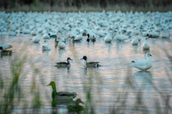 Northern Pintails + Snow Geese 1