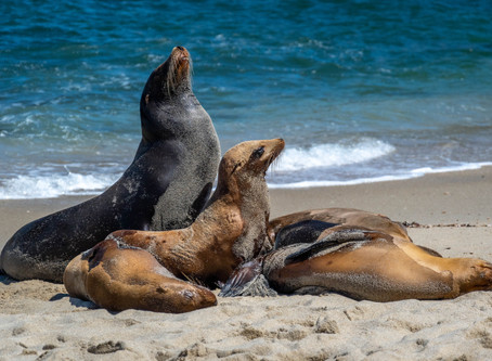 Saving Space for Seals and Sea Lions