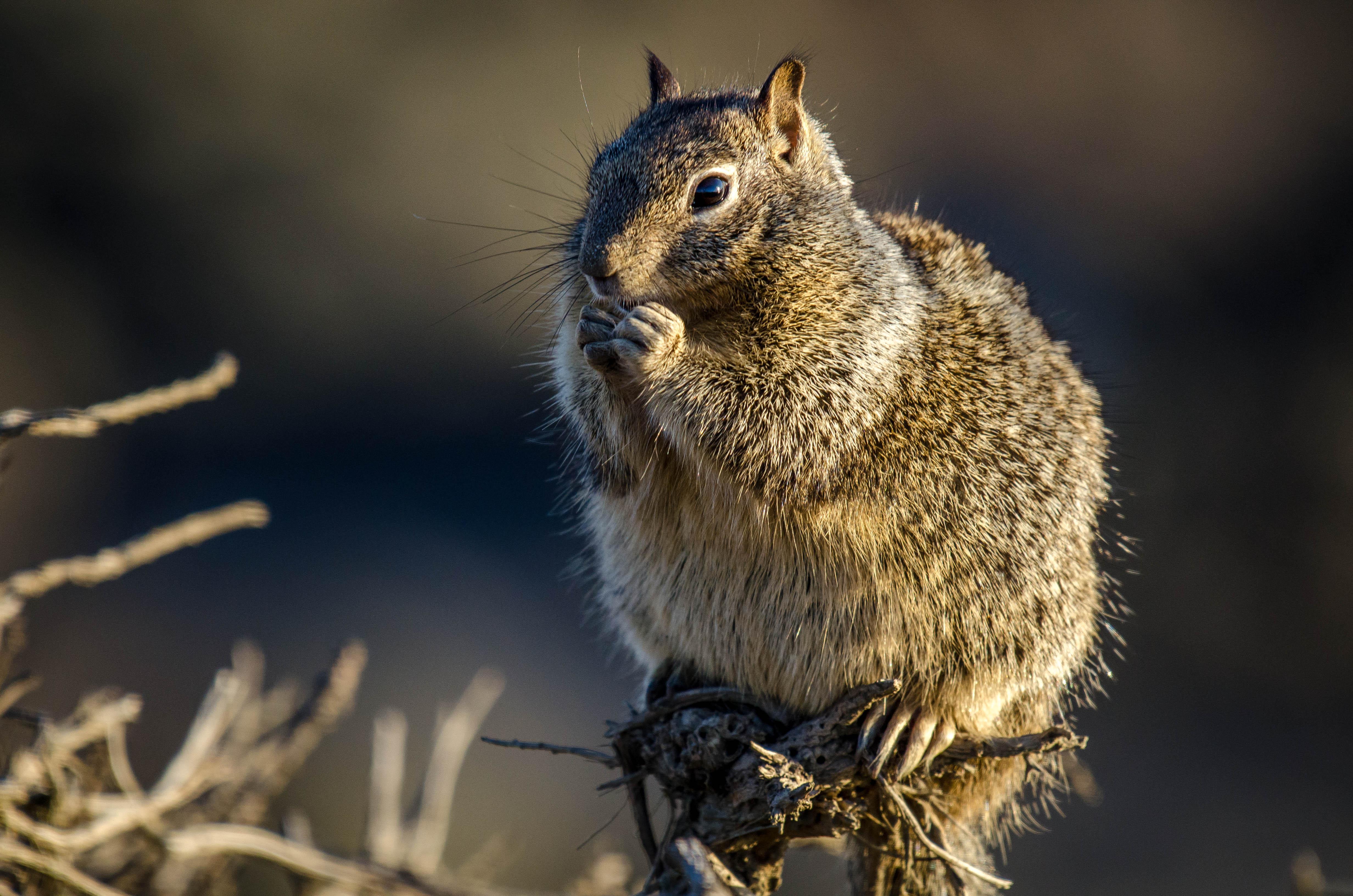 California Ground Squirrel 1