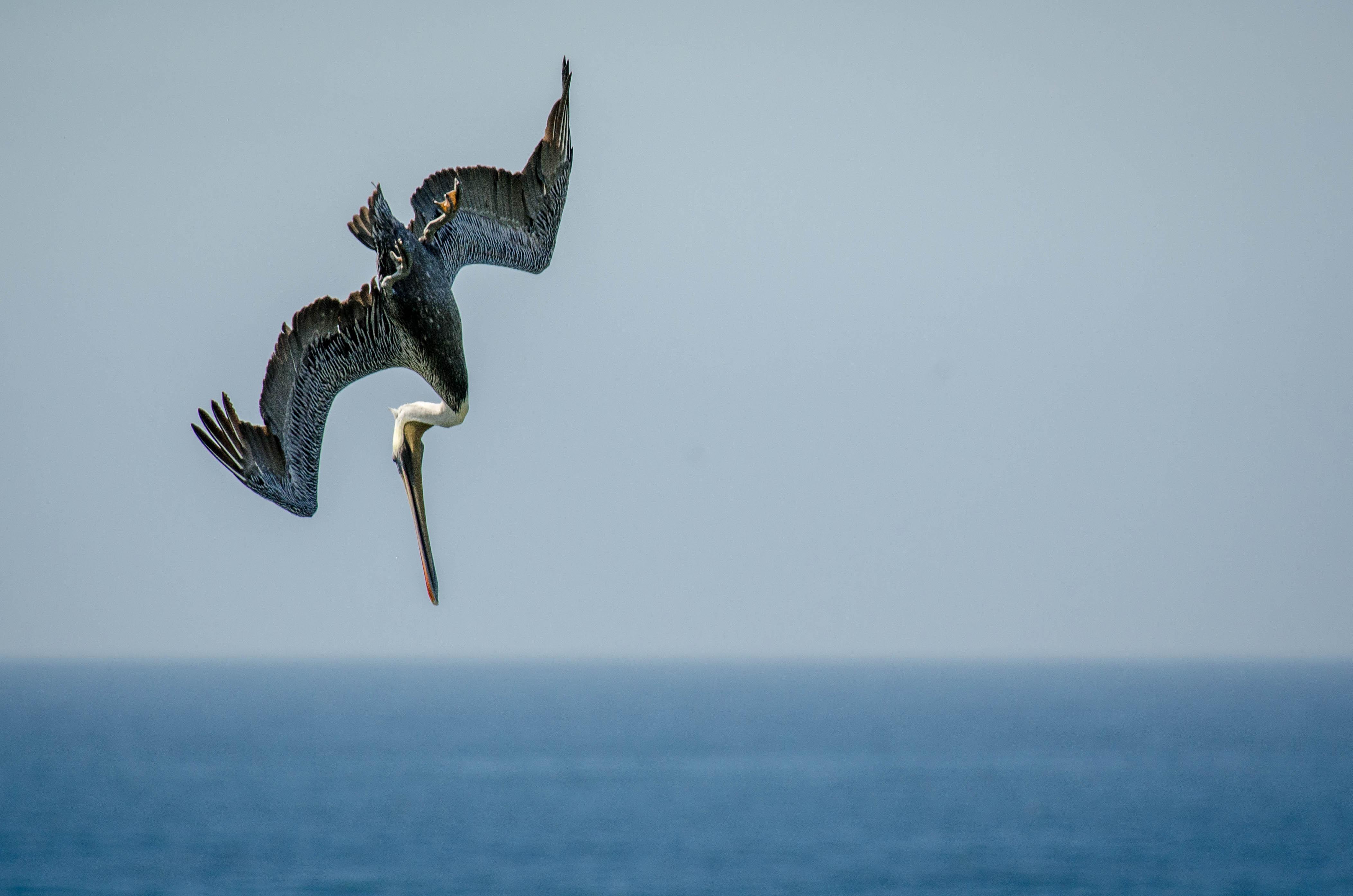Brown Pelican 20