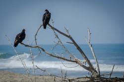 Turkey Vulture 6
