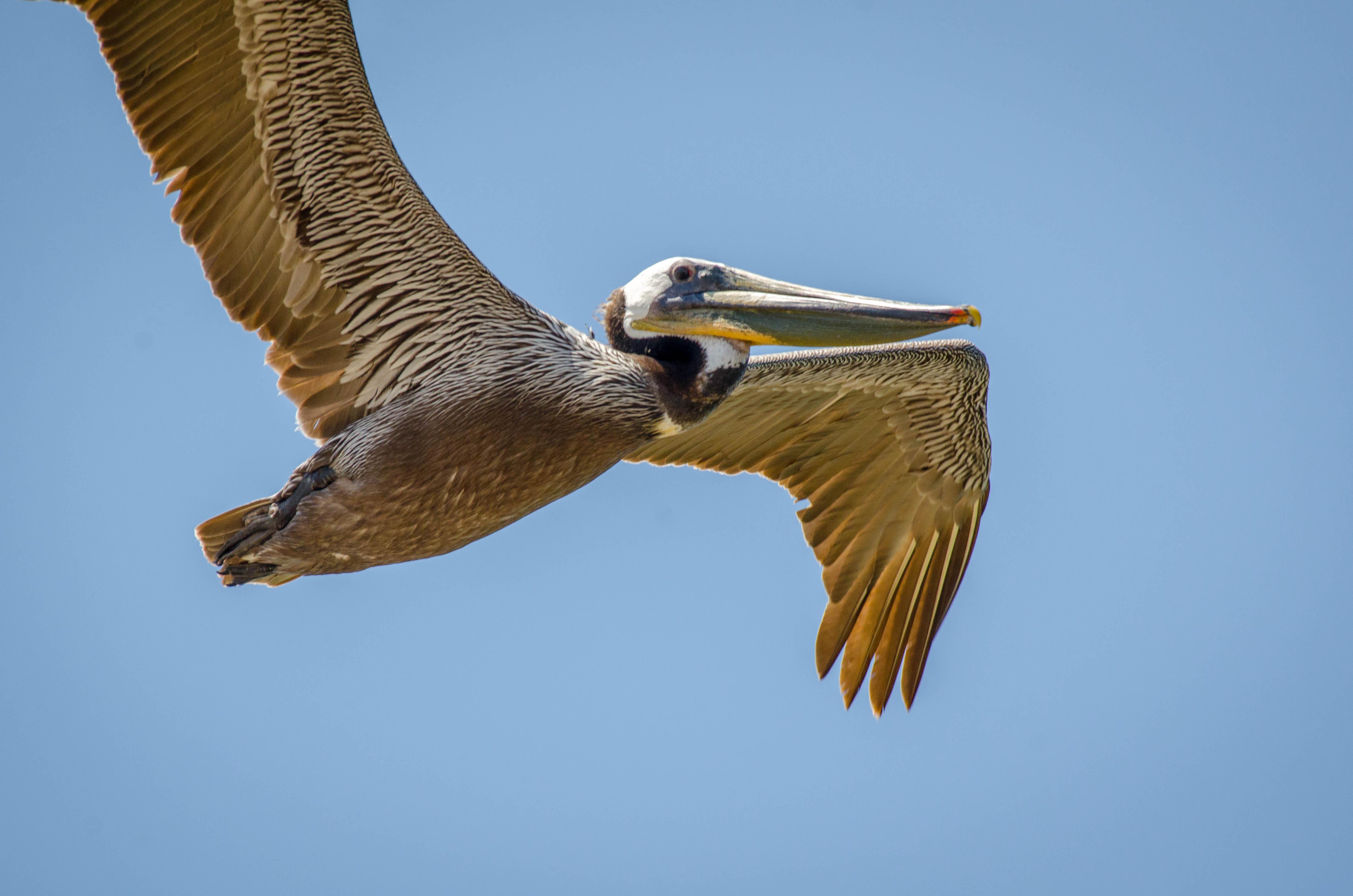 Brown Pelican 12