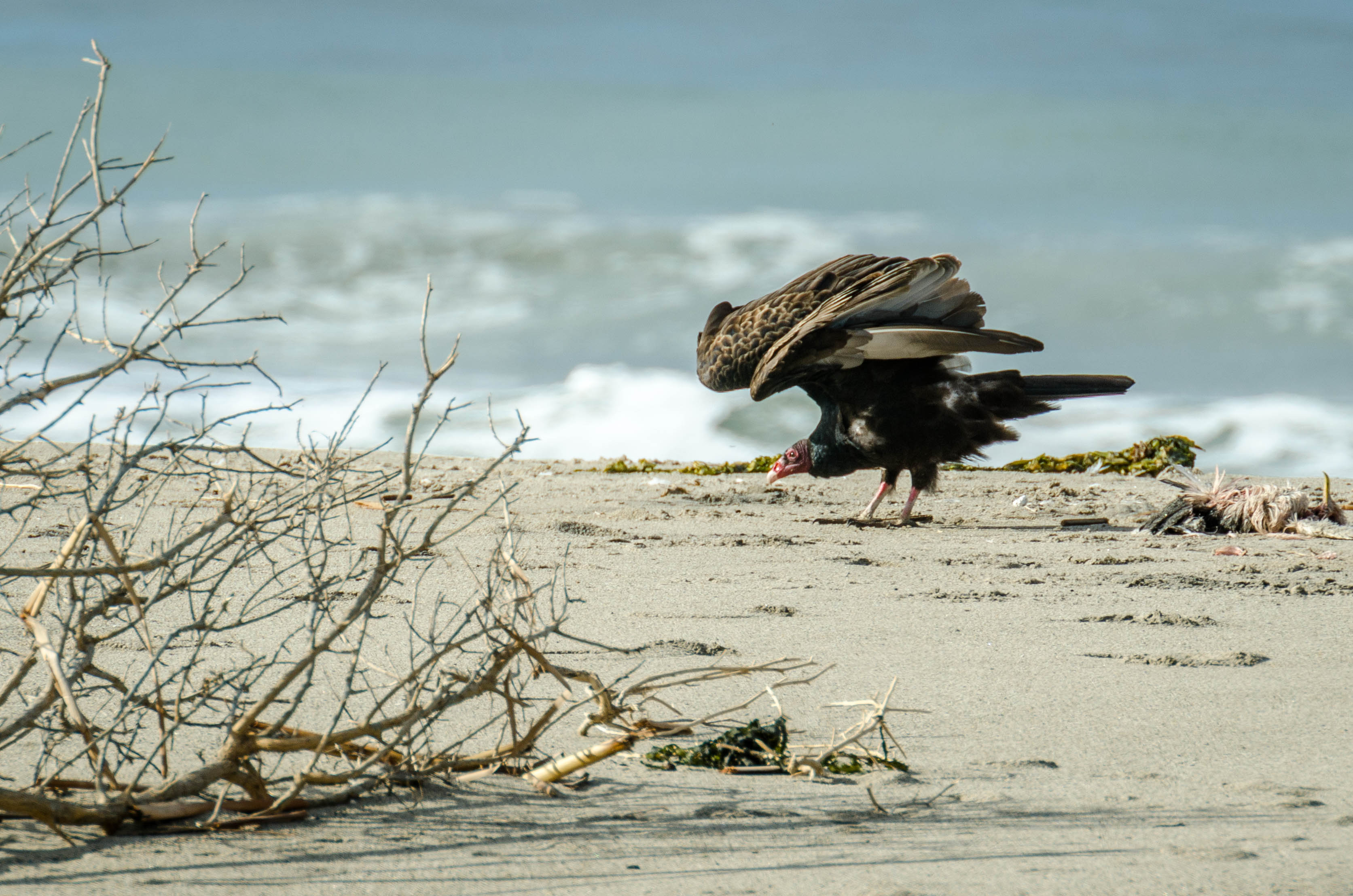 Turkey Vulture 7