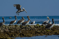 Brown Pelican 25