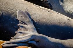 Elephant Seal 28